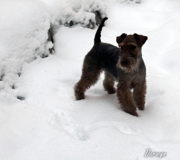 Zora Welsh Terrier 6 Months