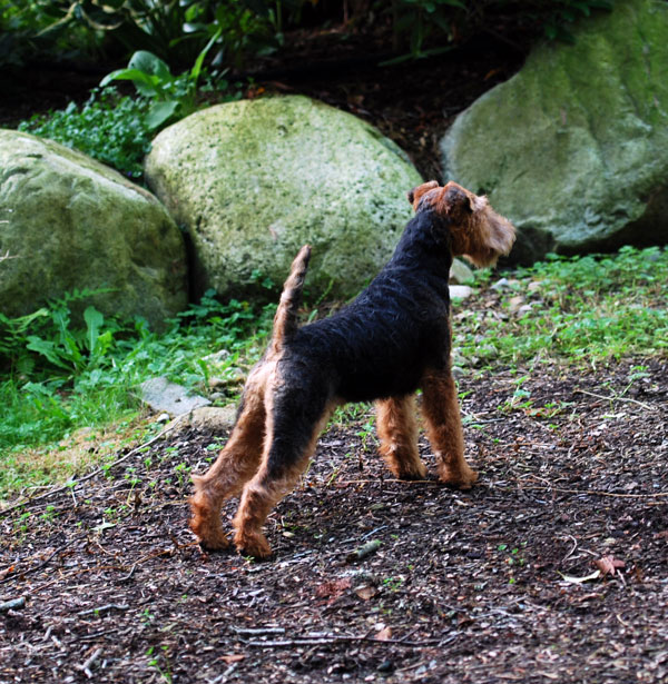 Darwyn Welsh Terriers: Zorro Welsh Terrier 6 Months